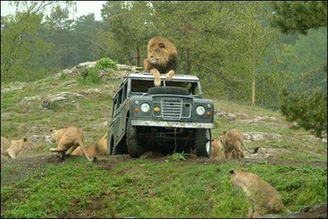 KONGE: En av løvehannene har oversikt over storfamilien i den nye løveparken. Foto: Dyreparken