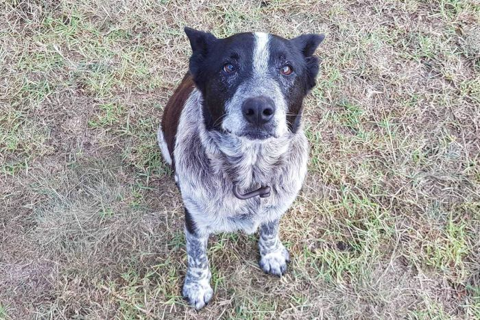 HELMAX: Blue Heeler-hunden Max er nå en helt.