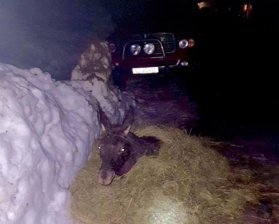 PAKKET INN I HØY: Anett fikk lagt elgkalven og pakket han inn i høy før natten.
