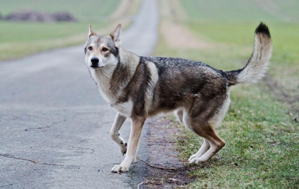 SATT I ARREST: Hunden som bet treåringen, skal ha vært av rasen saarloos wolfhond – opprinnelig en krysning av schäfer og ulv. Bildet er av tilsvarende type hund.