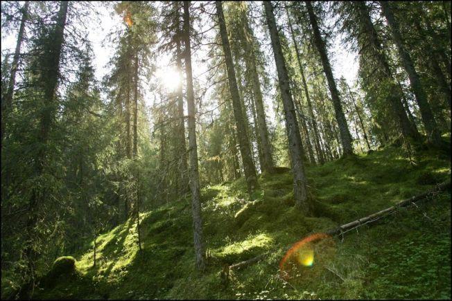 INN I GRANSKOGEN: 100 dekar granskog gir omtrent 3000 kubikkmeter tømmer. Dersom tømmeret brukes til materialer og biodrivstoff som erstatter stål, betong, flybensin og diesel, reduseres klimagassutslippene med mer enn 2000 tonn CO2, ifølge Norges Skogeierforbund.