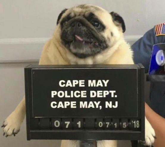 FORTUMLET: Lille Bean ble funnet av politiet i Cape May søndag. Eieren fant de kort tid etter at de delte et «mugshot» av mopsen på Facebook.