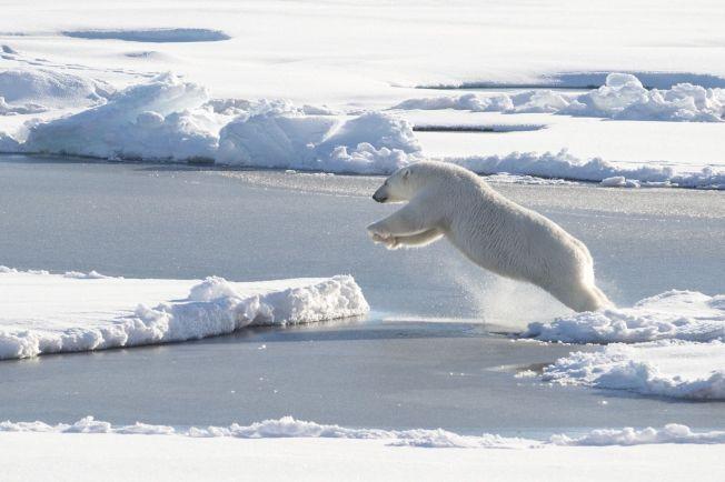 MINDRE IS FOR ISBJØRNENE: Utbredelsen av sjøisen forrige måned var den laveste som noen gang er målt i januar. Her er en isbjørn på vei til et nytt isflak avbildet i Nordishavet i fjor.