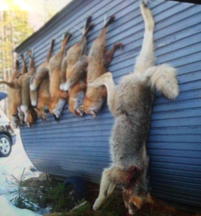 TOK FEIL: Den hovedtiltalte i ulvesaken Dennis Nordahl, sier han trodde han skjøt rev da han skjøt denne ulven. Bildet er tatt like før han ble arrestert av politiet.