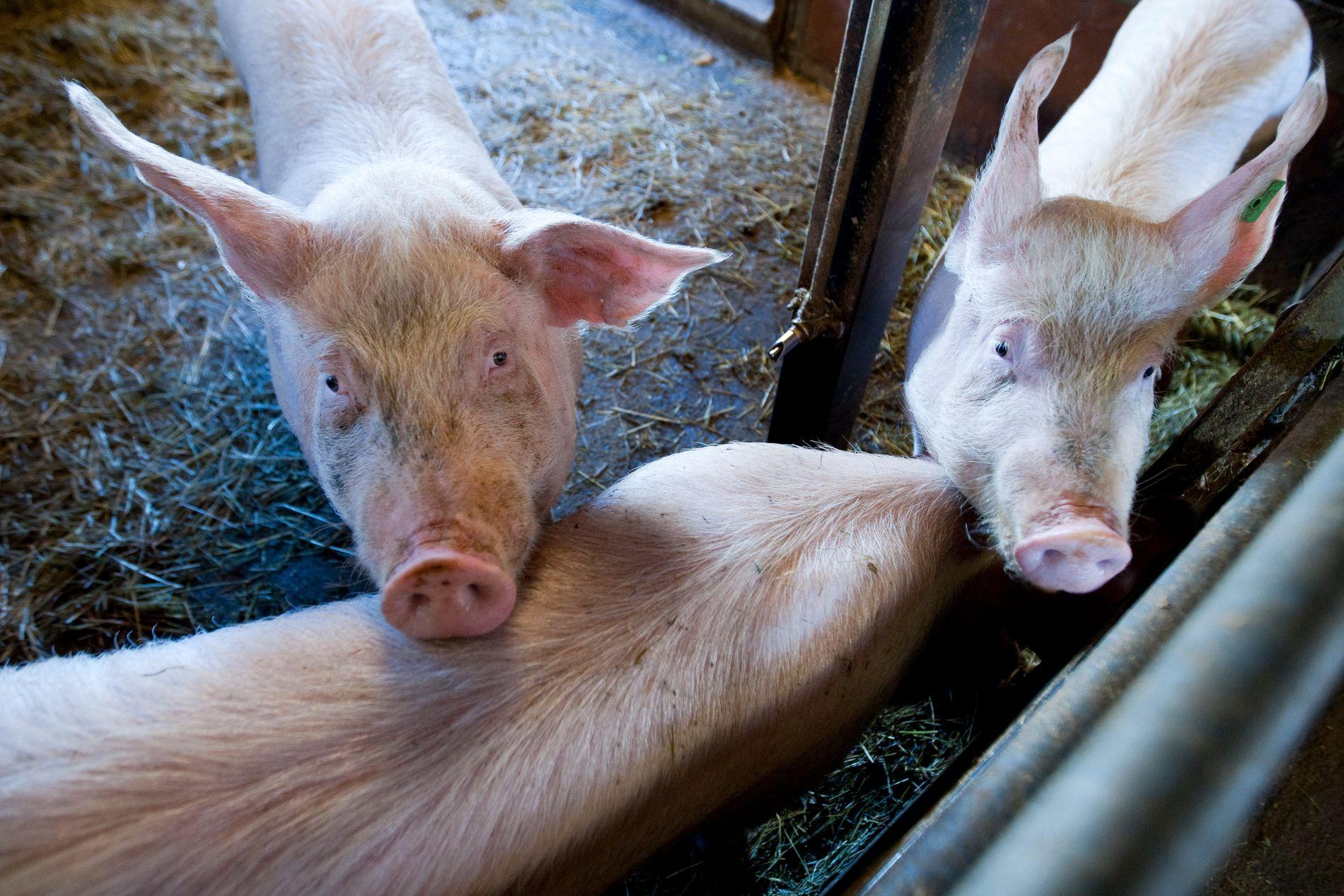 Det produseres for mye grisekjøtt i Norge. Ikke siden årtusenskiftet har lageret av svinekjøtt vært større hos markedsregulatoren Nortura.