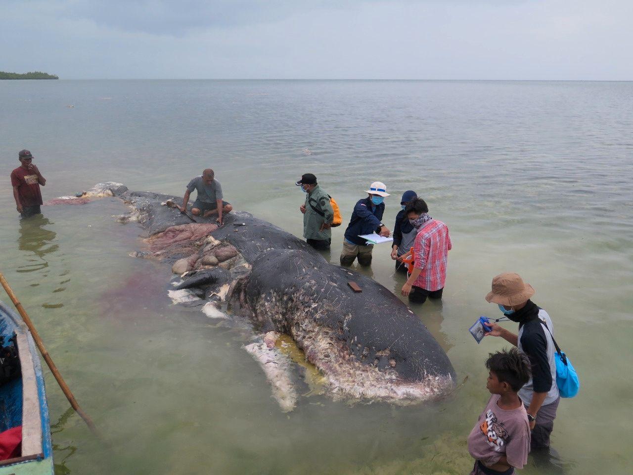 FANT HVAL: Lokalbefolkningen undersøker spermhvalen som skylte i land i Indonesia.