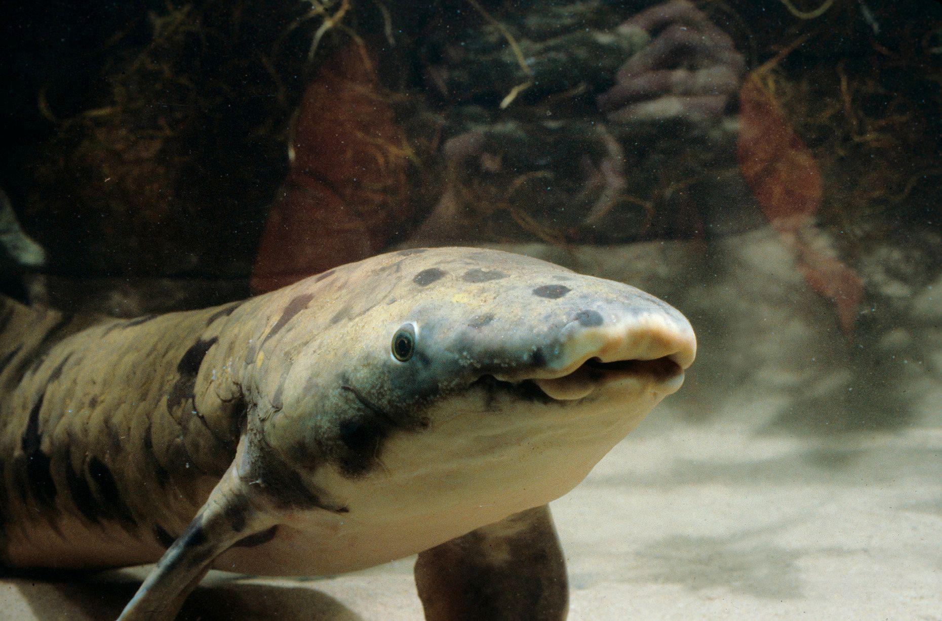 GAMMEL FISK: Den australske lungefisken Granddad fotografert i 1982 ved Shedd Aquarium i Chicago, Illinois i USA. Nå er han død, 100 år gammel.  Foto: REUTERS