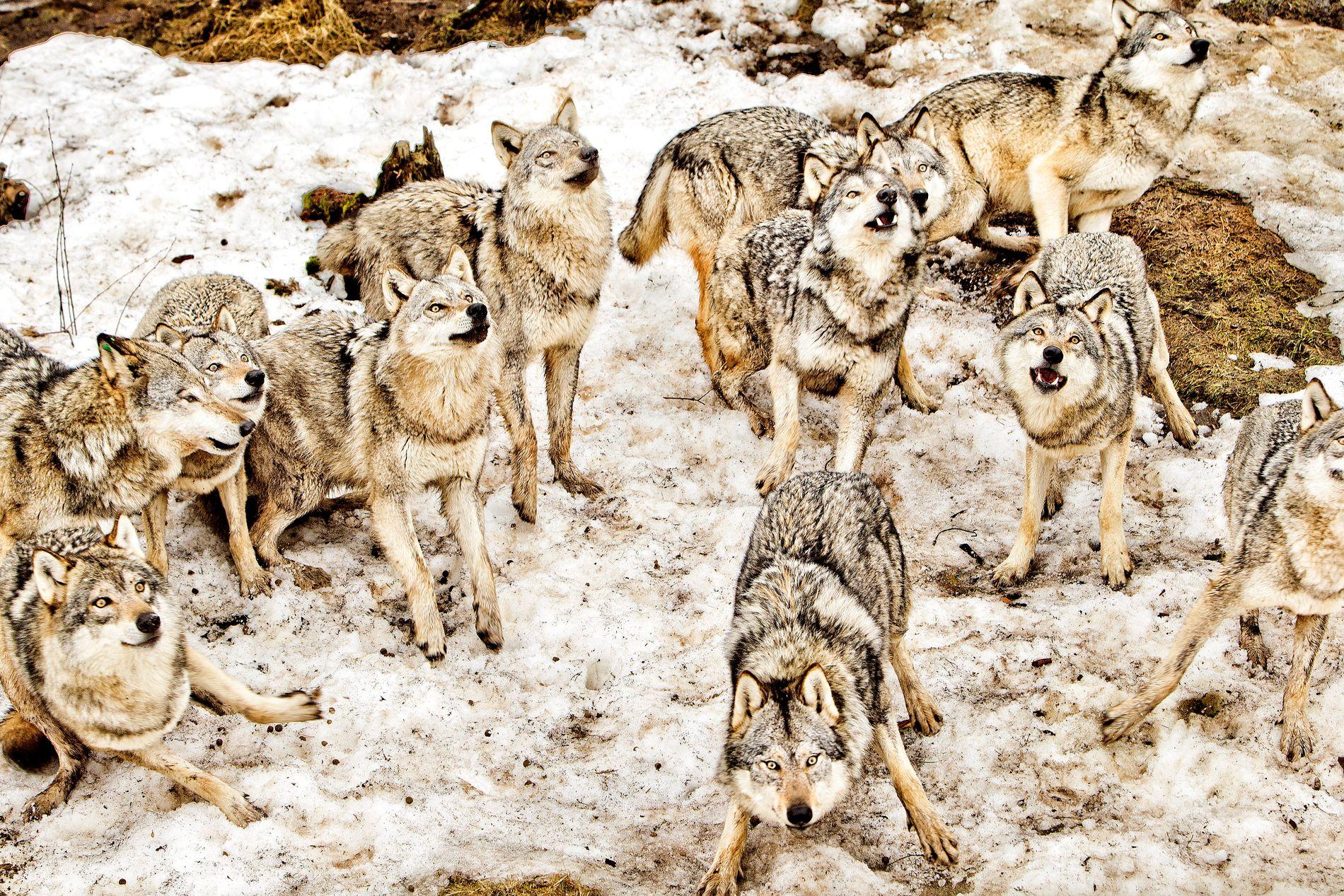 BESKATTES: Nye kriterier skal inn i naturmangfoldsloven slik at ulv kan avskytes uten å ha forvoldt skade først . Bildet er fra Namsskogan familiepark i Nord-Trøndelag.