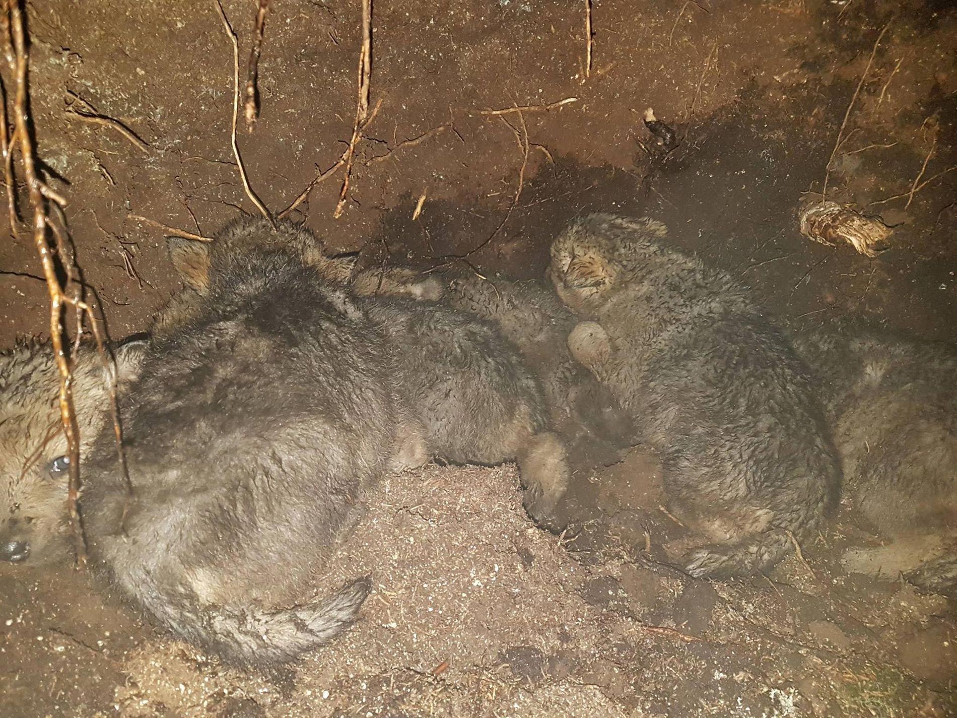 SIKRET DNA: Statens naturoppsyn fant syv valper i Osdalsreviret, mens det er født fem i Slettås.