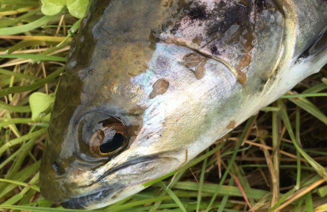 MYE LUS: Denne ørreten ble fisket 15. juni i Frøyseth i Masfjorden. Den hadde rundt 50 lus i hoderegionen. En lus har begynt å angripe øyet.