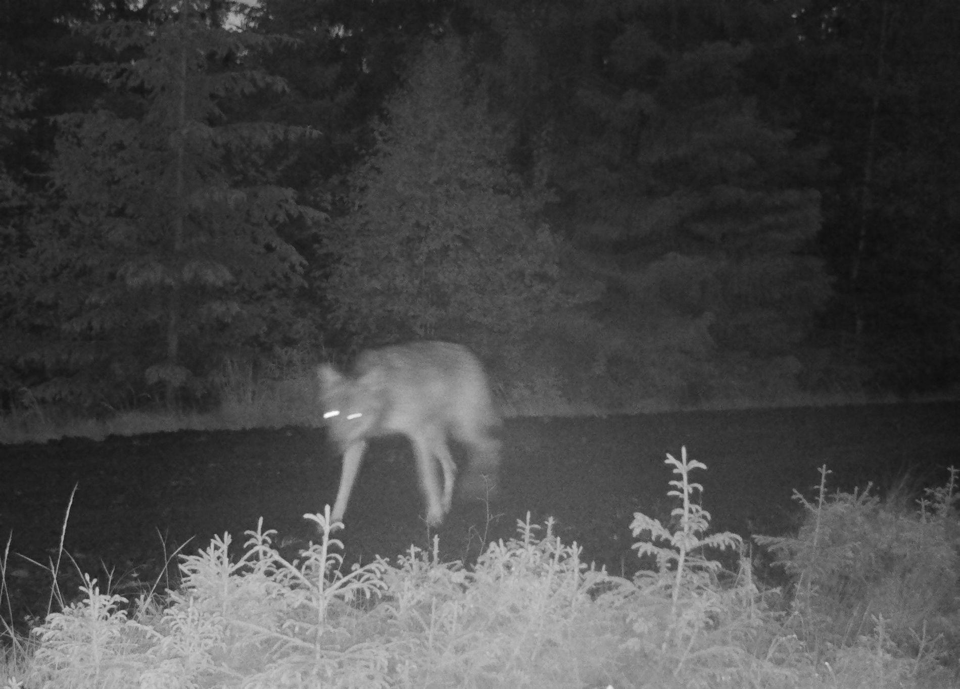 FANGET PÅ FOTO: Søndag ble det tatt bilde av denne ulven på Øståsen i Gran, like i nærheten av områder hvor det har vært flere angrep på sau.