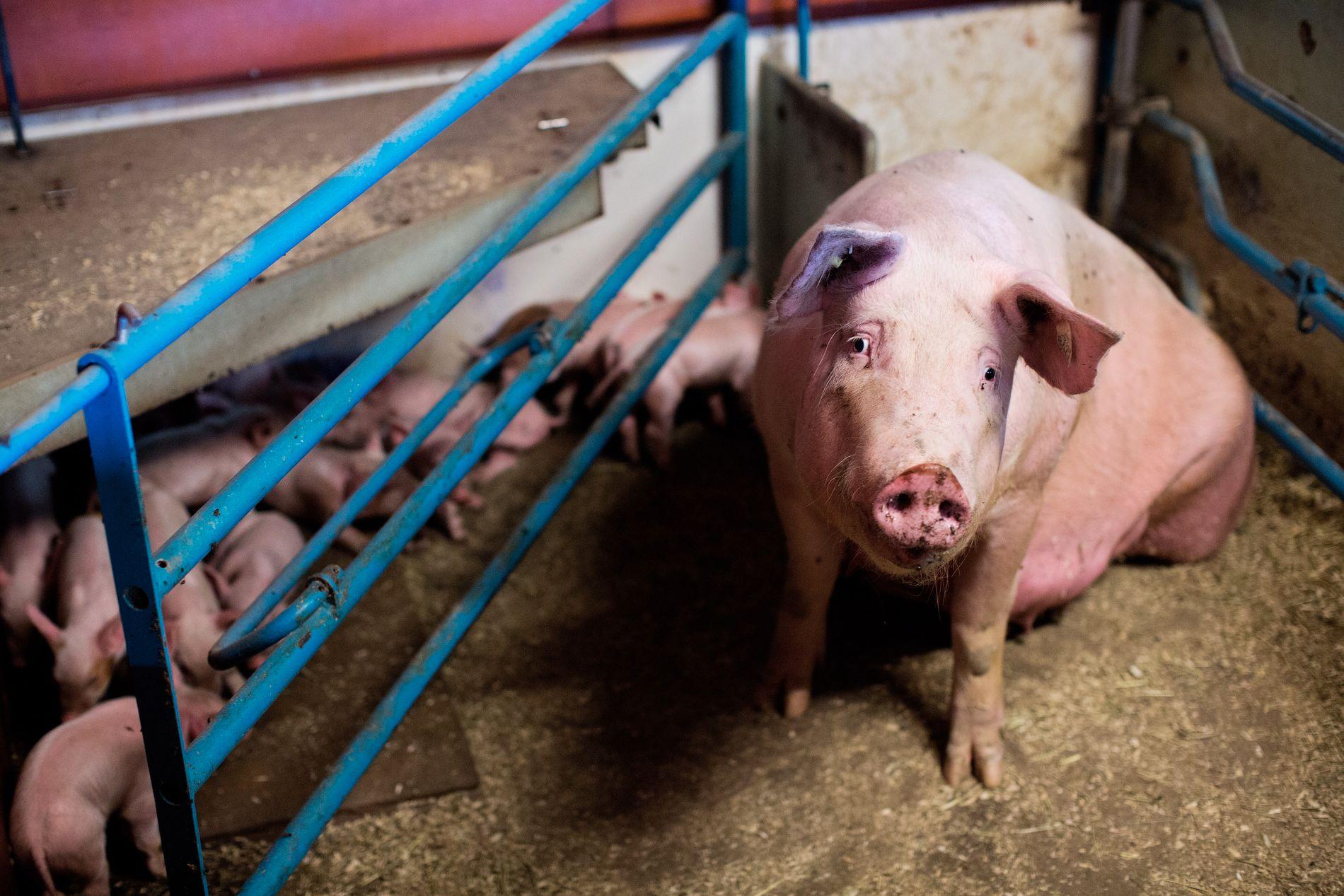 OVERSKUDD: Folk spiser mindre svin i Norge, samtidig som svineproduksjonen holdes høy. Det gjør at lagrene med svinekjøtt vokset. Bildet er tatt i en annen sammenheng.