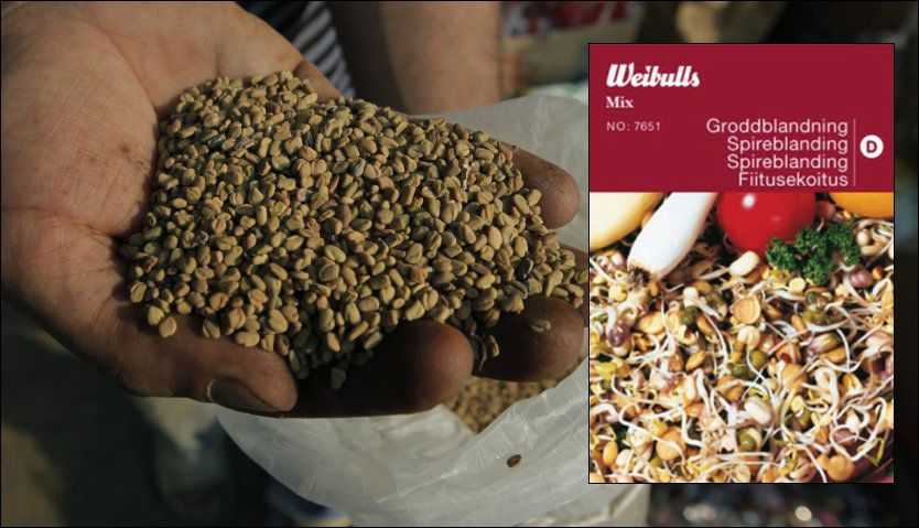 FRA EGYPT: Bukkehornkløverfrø fra Egypt er mistenkt for å stå bak E.coli-utbruddet i Europa. De kan befinne seg i Wibulls spireblanding som nå trekkes tilbake. Foto: Ap/Nordic Garden