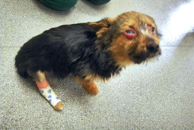 STAKKARS CHUNKY: Sånn så hunden Chunky ut etter å ha fått hjelpe av dyrevernets veterinærer. Chunky klamret seg til livet, sier RSPCA om chihuahuaen som ble så stygt mishandlet at britene raser.