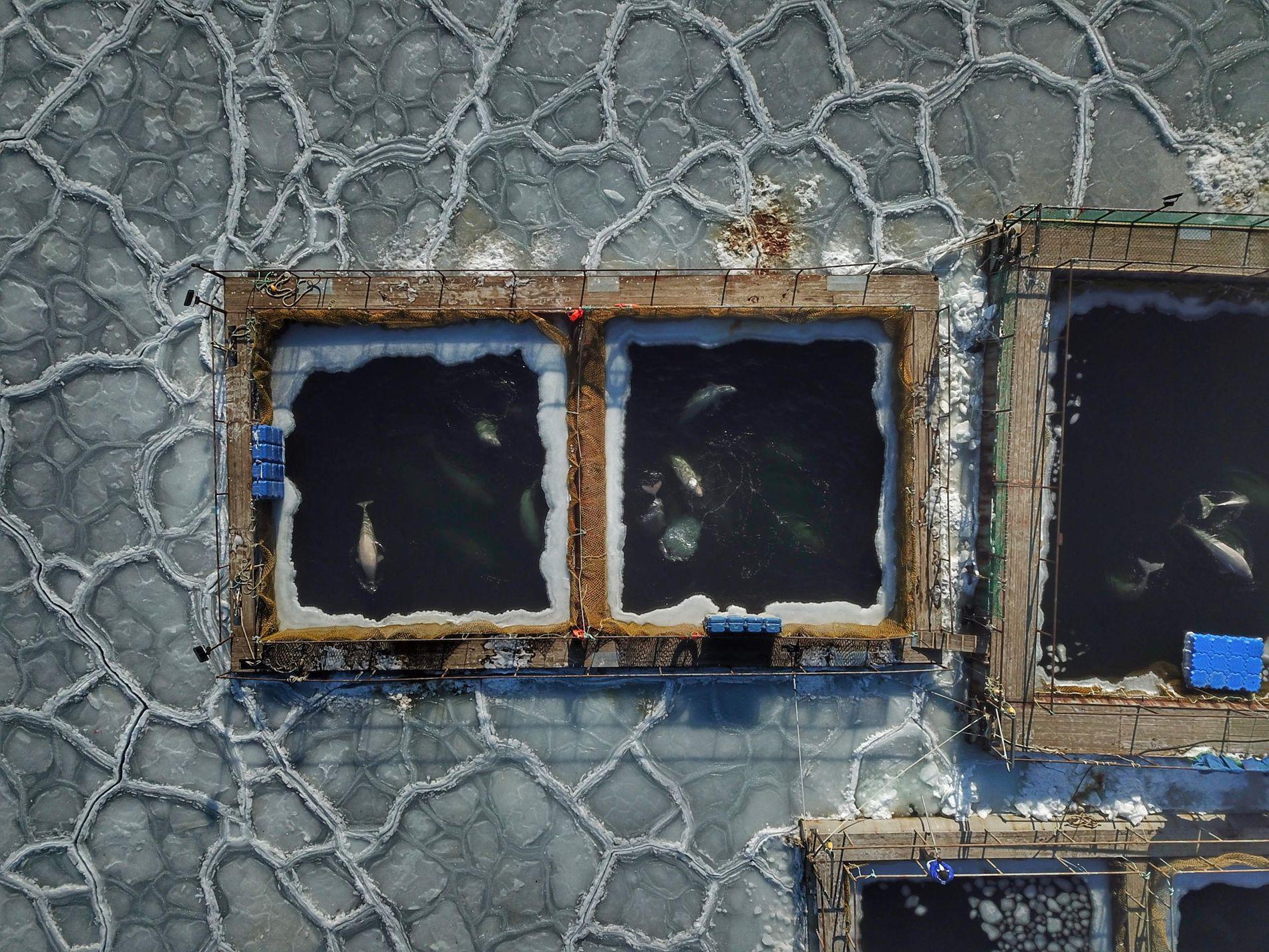 I FANGENSKAP: 87 hvithvaler og elleve spekkhoggere holdes fanget nær havnebyen Nakhodka, øst i Russland. Bildet er tatt 22. januar 2019.