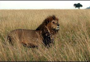 Raser mot uetisk løvejakt