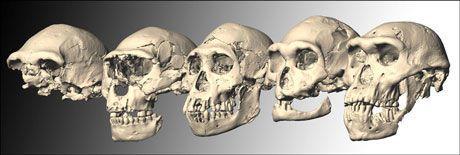 HODESKALLENE: Dmanisi-skallene 1 til 5, fra venstre mot høyre. Illustrasjon: M. Ponce de León and Ch. Zollikofer, University of Zurich