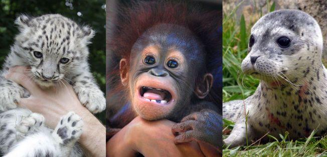 STADIG FÆRRE: Krabater som disse tre blir det stadig færre av i naturen, ifølge WWF. Siden 1970 er antallet ville dyr halvvert.