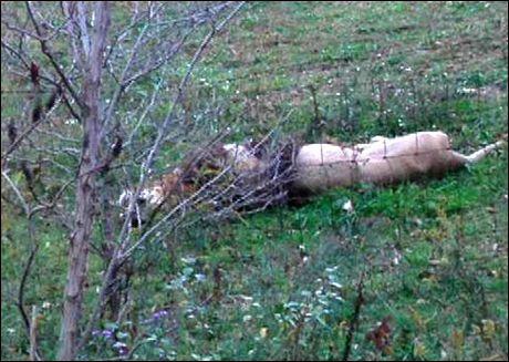 DØD: Denne løven ble skutt etter å ha blitt sluppet fri fra dyrehagen. Foto: AP