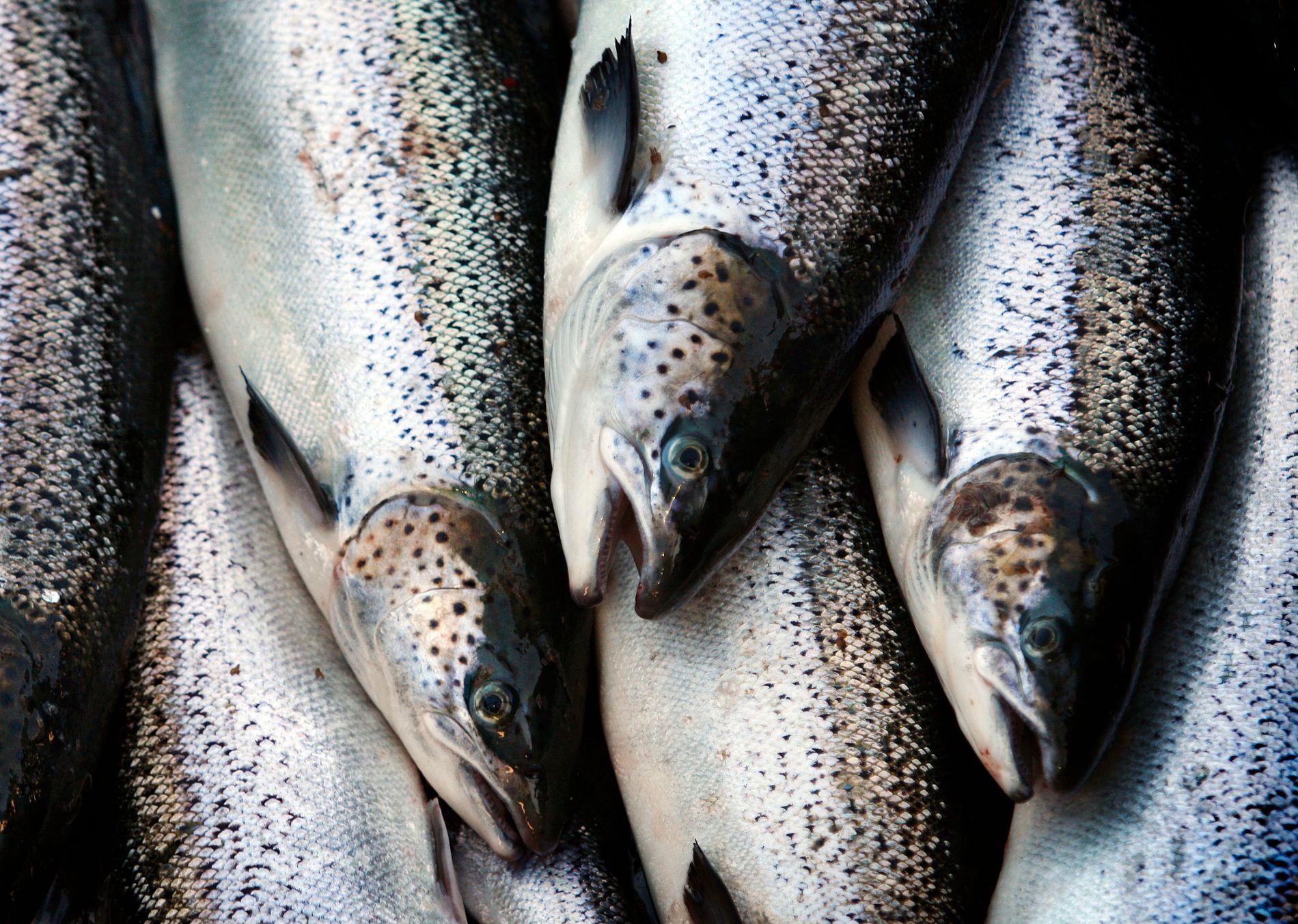 ADVARER: Forskerne mener man bør spise mindre fet fisk, for dermed å få i seg mindre miljøgifter.