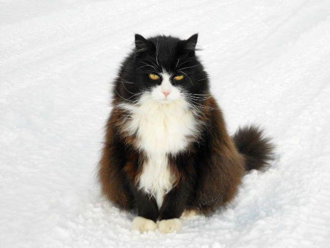 SAVNET: Katten Kjell er savnet fra Dagali Hotell. Vitner forteller at han ble kidnappet av to mennesker på lørdag morgen. Foto: Privat