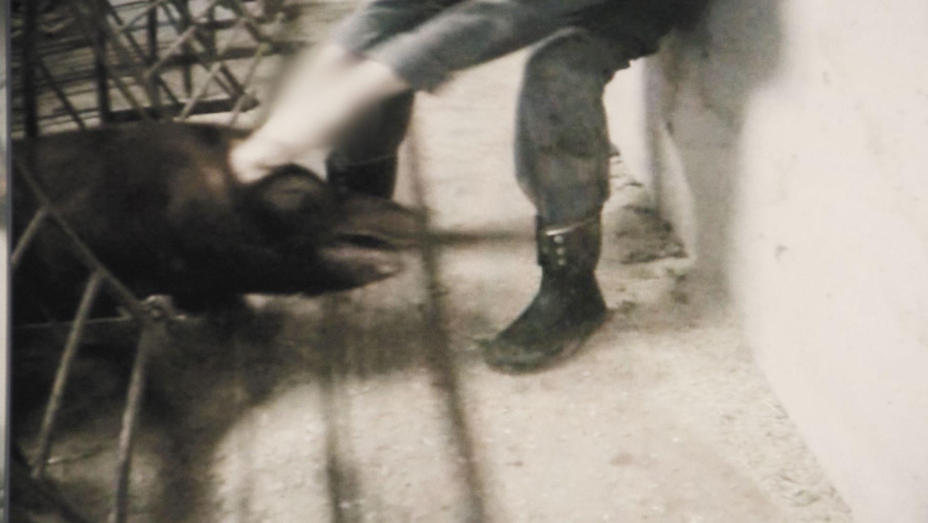 FRA FILMEN: Denne scenen fra Brennpunkt-dokumentaren viser en bonde som drar en gris etter hodet og ørene. Bonden leverer fortsatt kjøtt til Nortura.