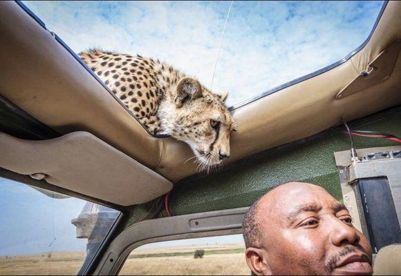 Geparden var kun centimeter unna: - Jeg var ikke redd, men gråt av glede