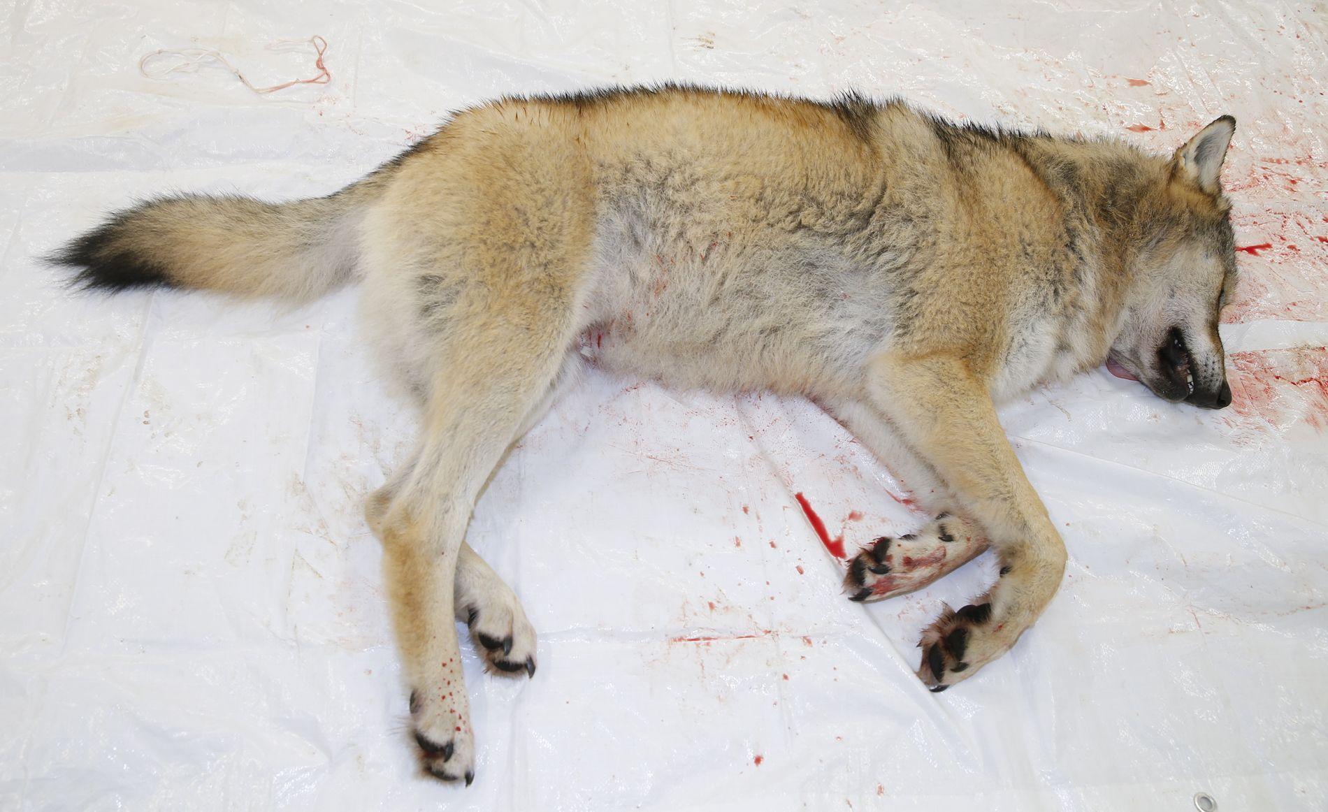 ÅPNER LISENSJAKT: Tirsdag ble det besluttet å åpne lisensjakten på tre ulverevir i ulvesonen, samt tolv dyr utenfor, til vinteren.