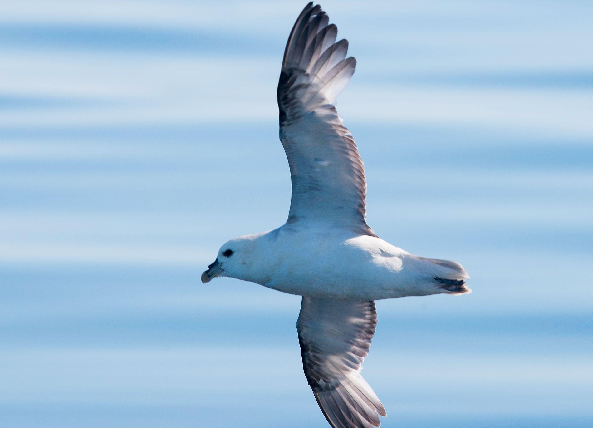 HAVHEST: Sjøfuglen havhest er en av de mest utsatte artene for plastforurensing i den norske naturen.