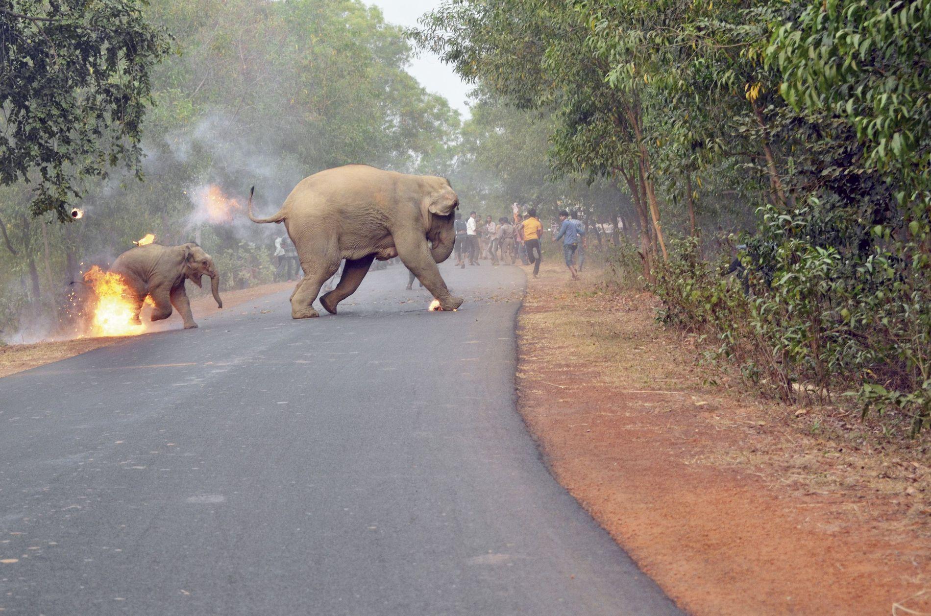 I FLAMMER: Elefantungen flykter fra den mobben som kaster fyrverkeri og brennende tjære.