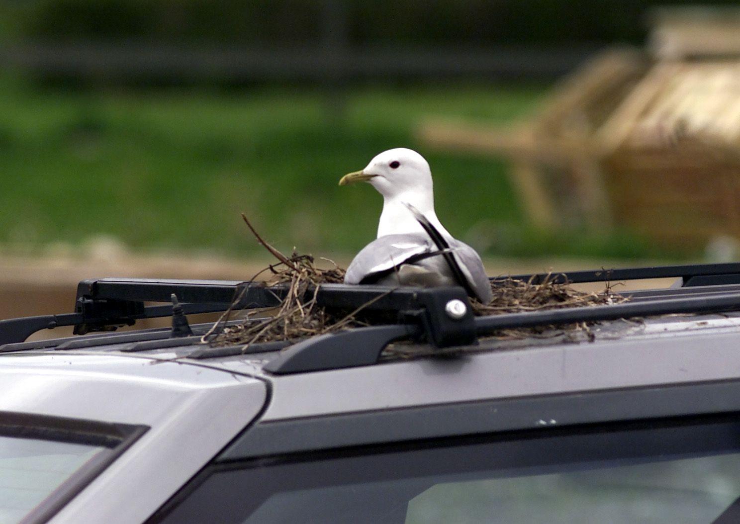 FREDET: En fiskemåke ruger på eggene sine i et rede den har bygget på et biltak på Lade i Trondheim. Illustrasjonsfoto: