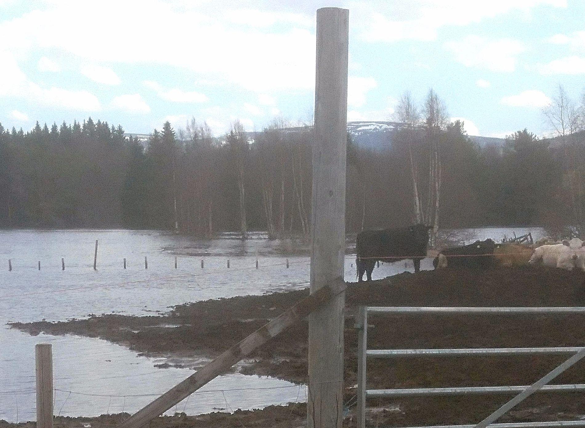 EVAKUERTE KYR: Elven Ljøra kom faretruende nære kyrne til Øyvind Kveen i Ljørdalen. Nå er de evakuert.