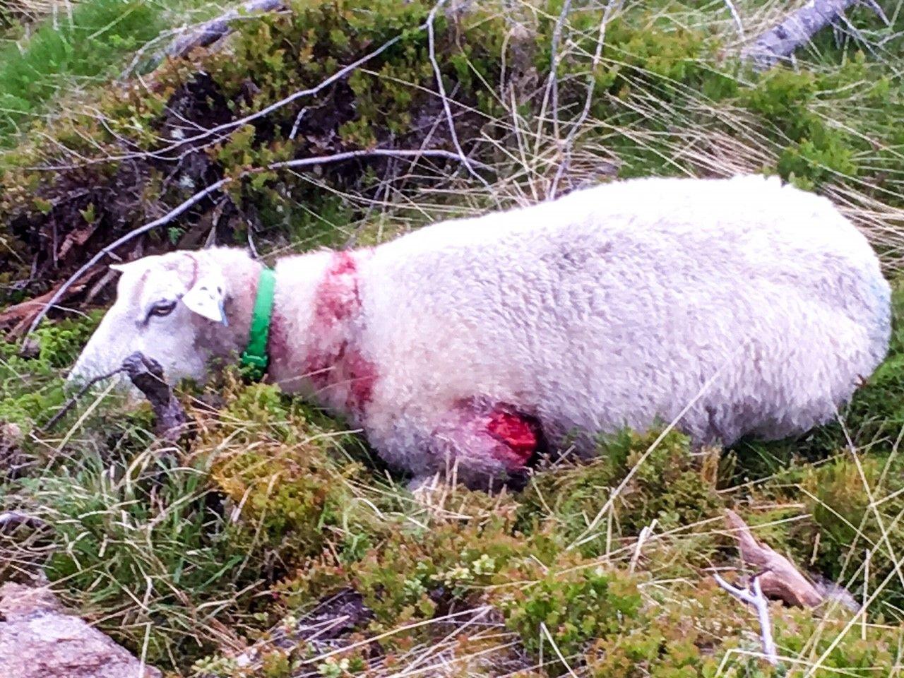 TATT AV ULV: På bare få dager har nærmere 70 sau mistet livet etter møte med ulv på sommerbeitet i Oppland.
