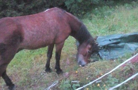 SKRUBBSULTEN: Den 25 år gamle Exmoor-ponnien Harry var skrubbsulten og jafset i seg mat før den var ute av helikopternettet den ble reddet i.