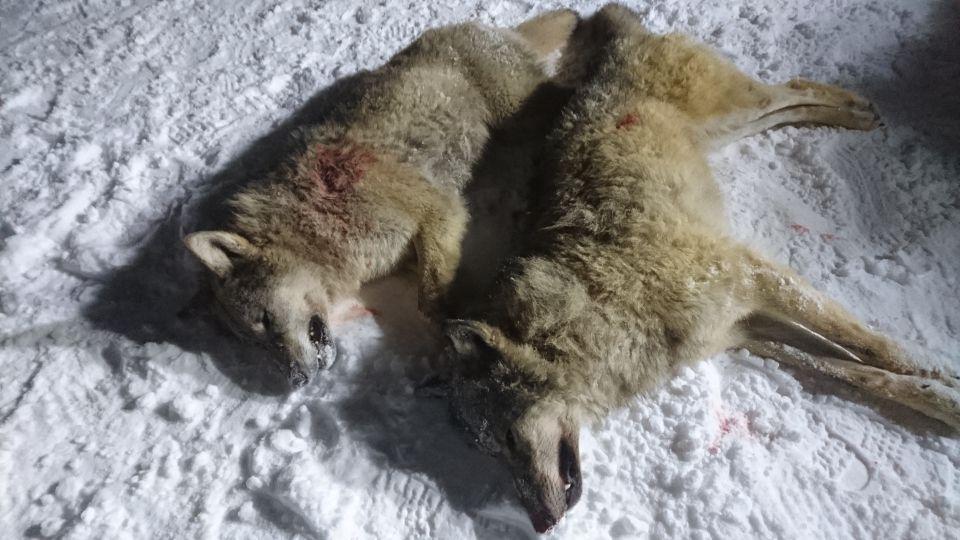 SKUTT: Dette er de to ulvene som ble skutt under jakta i Rendalen søndag. Foto: LARS GANGÅS/STATENS NATUROPPSYN