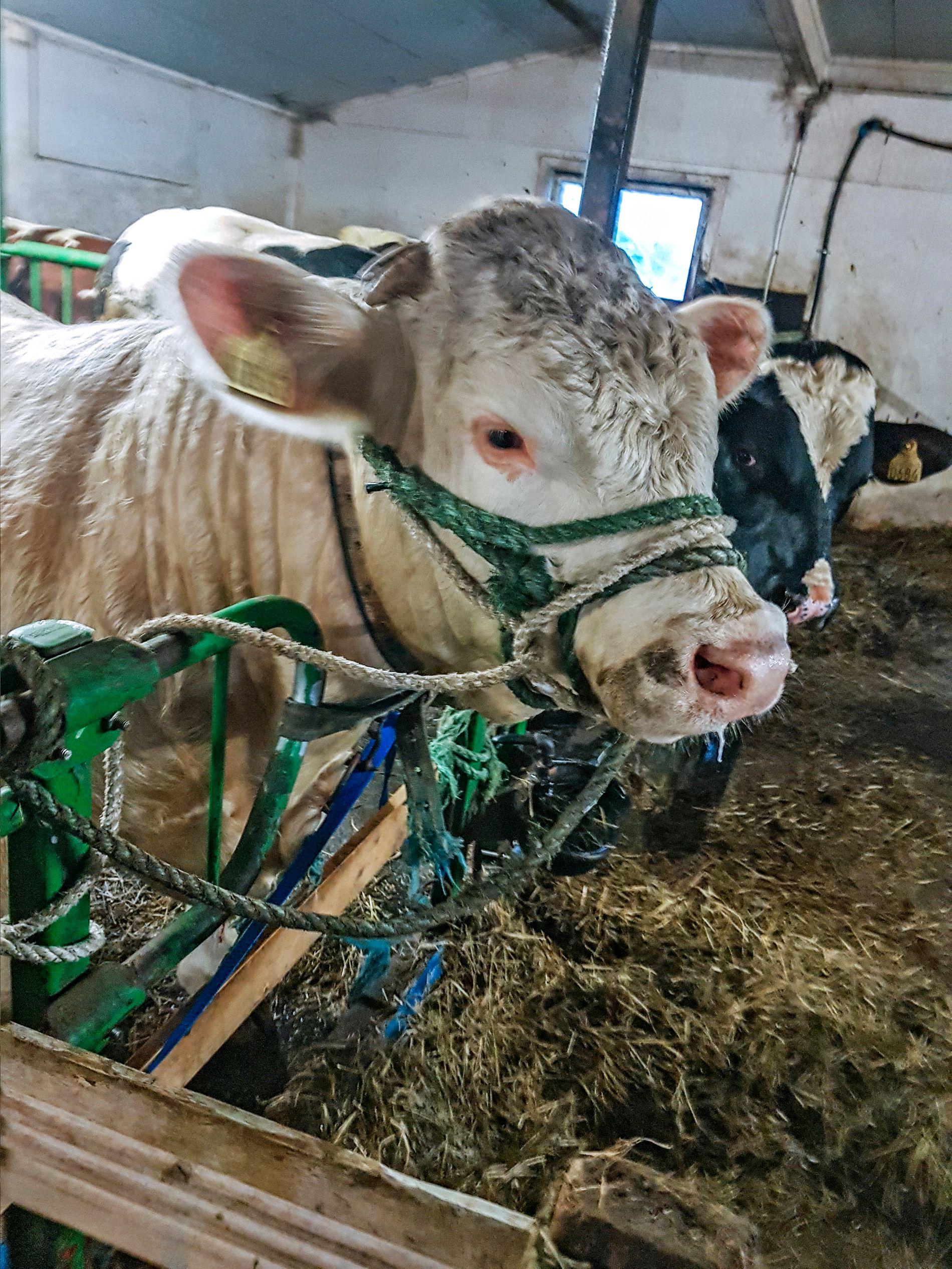 TILBAKE: Endelig er oksen tilbake i gården, etter flere timer på frifot.