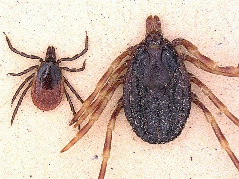 MYE STØRRE: En flått av arten Hyalomma marginatum (til høyre) sammenliknet med en vanlig skogflått.