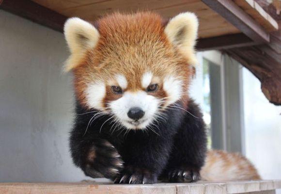 Panisk søk etter rød panda på rømmen