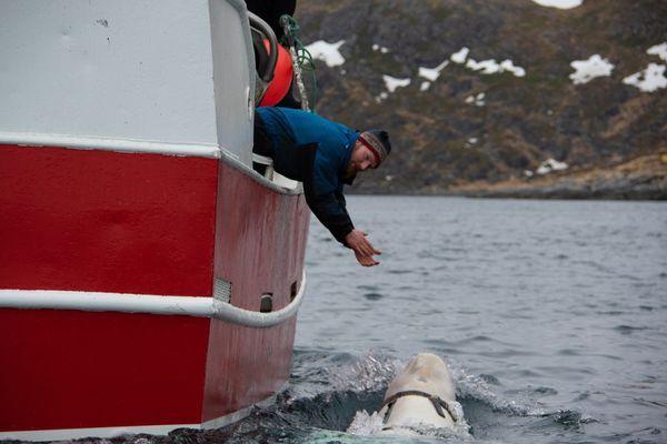 NÆRGÅENDE: Hvithvalen svømte helt opp til båten til fiskeren Joar Hesten.