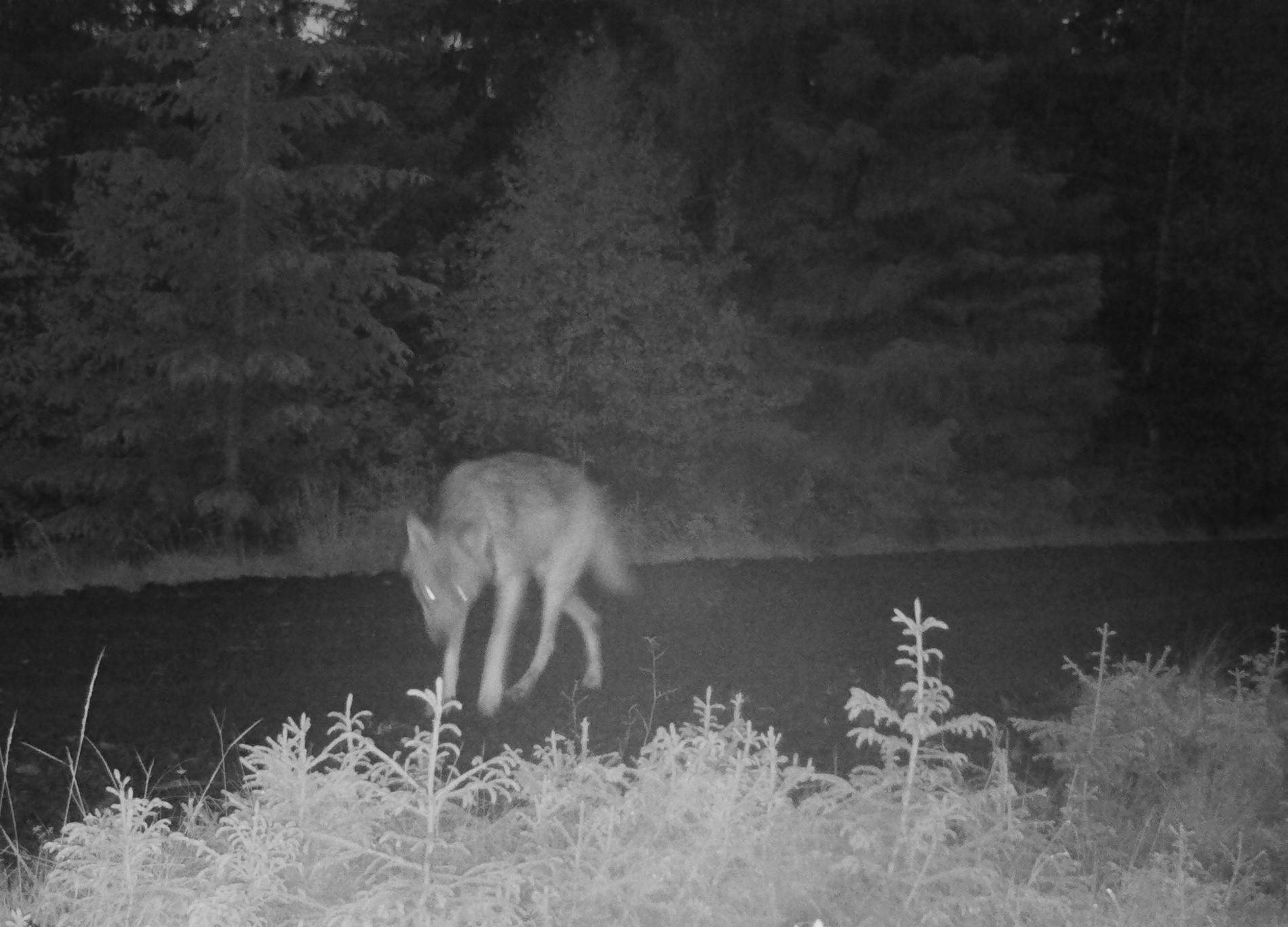 SKY: Ulven ble også observert av en syklist på søndag. Så langt har ikke jegerne i fellingslaget hatt den i siktet.