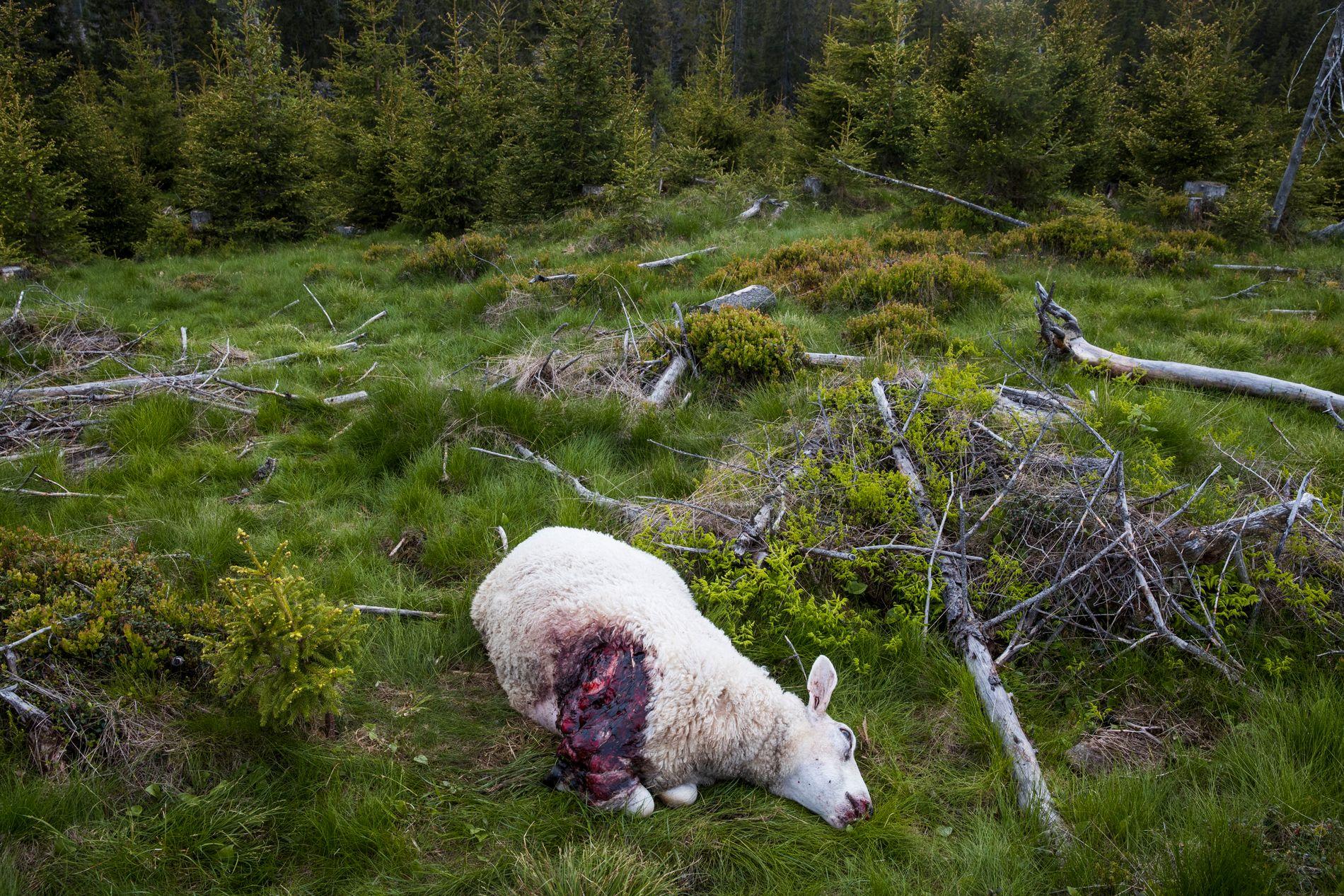 ULV HERJER: Gran sauebeitelag anslår at minst 100 sauer er drept i kommunen den siste uken. Her er en av ulvens ofre avbildet i et område der dyrene var på sommerbeite.