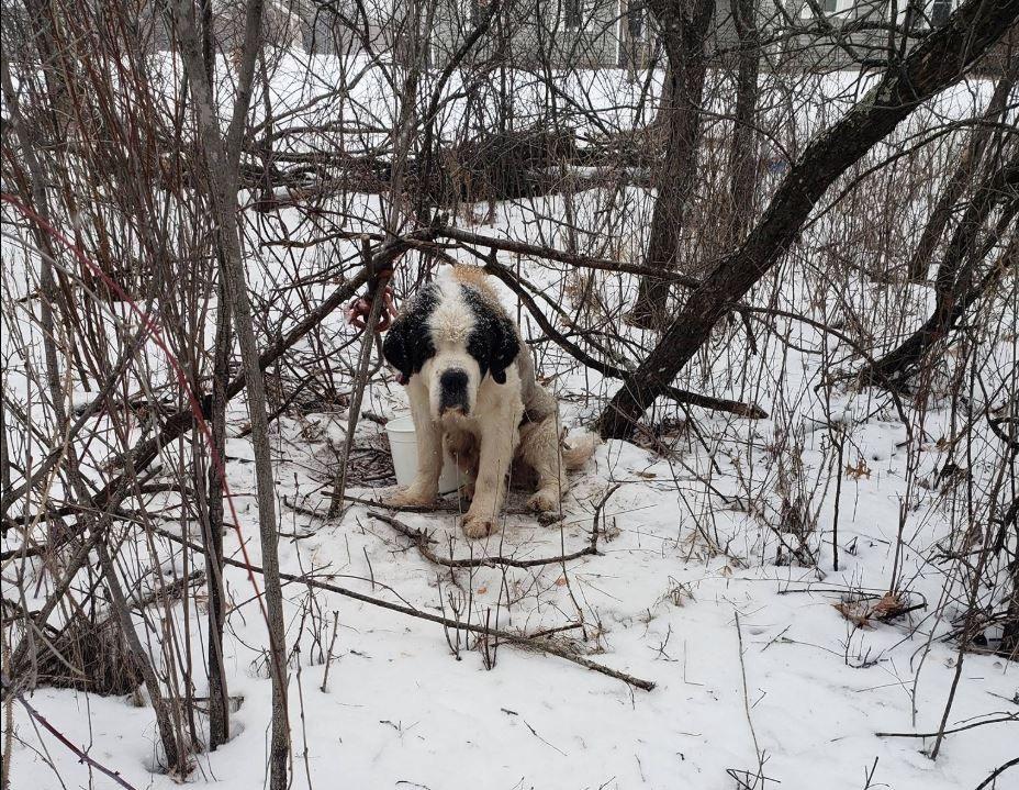 REDDET: Slik så hunden Old Lady ut da hun ble funnet etter over to uker på rømmen.