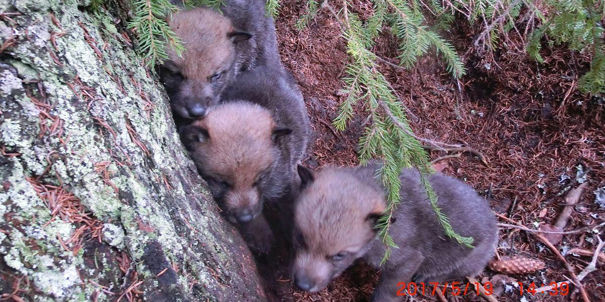 I tillegg til de åtte «voksne» ulvene i Slettås-flokken registrerte Statens Naturoppsyn fem nyfødte valper i Slettås-reviret i vår.