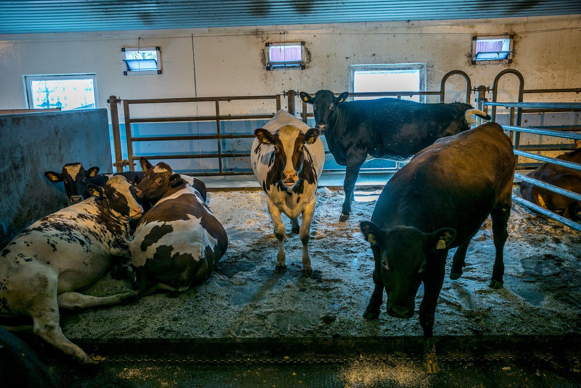 TRIVES INNE?: Mattilsynet la i sommer fram et forslag om at også okser skal ut i friluft, men etter et møte med næringen vil forslaget  antageligvis ikke se dagens lys. Det gjør heller ikke disse slakteoksene.