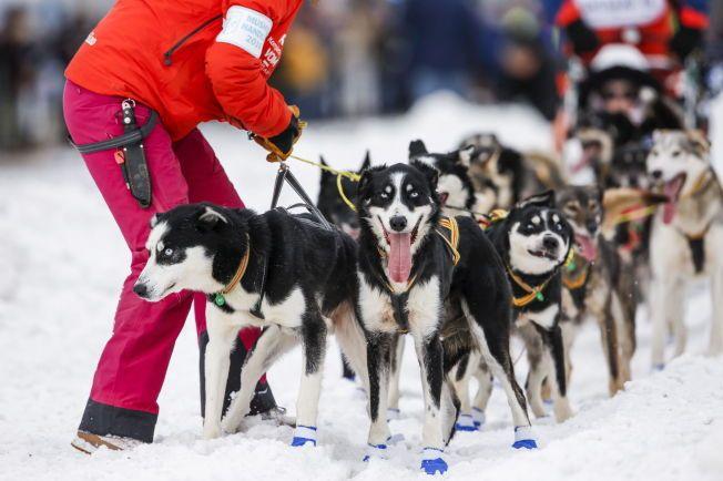 MONSENS HUNDER: Her får Lars Monsen hjelp med greie ut hundespannet like etter den seremonielle starten som fant sted i Anchorage sentrum på lørdag.
