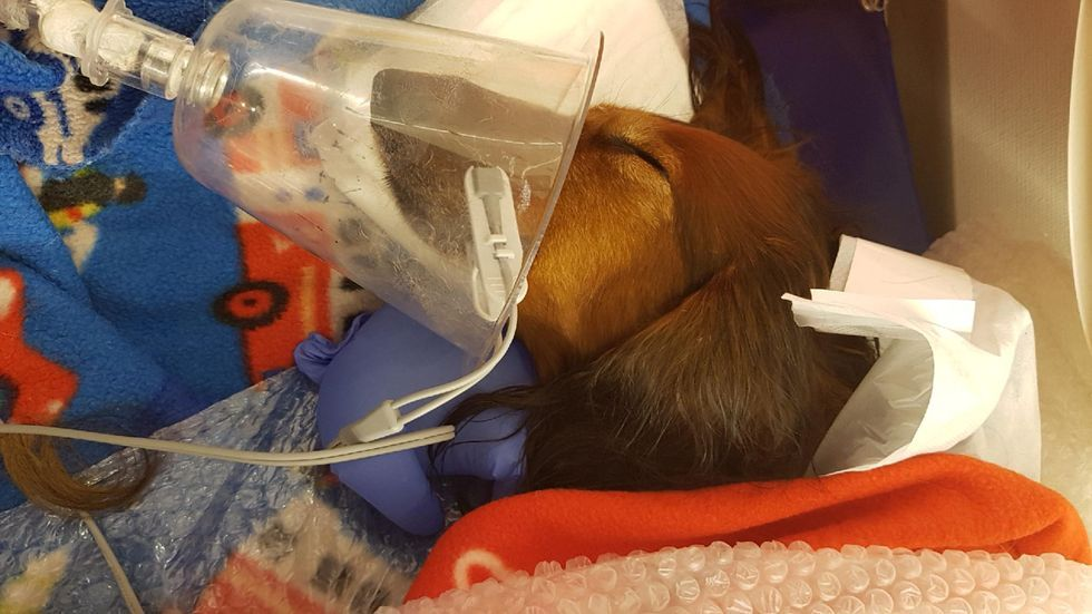 ISKALD DACHS: Den langhårede dachshunden Niilo falt gjennom isen og lå i det iskalde vannet i 30 minutter. Her får han oksygen og varmebehandling hos veterinæren.