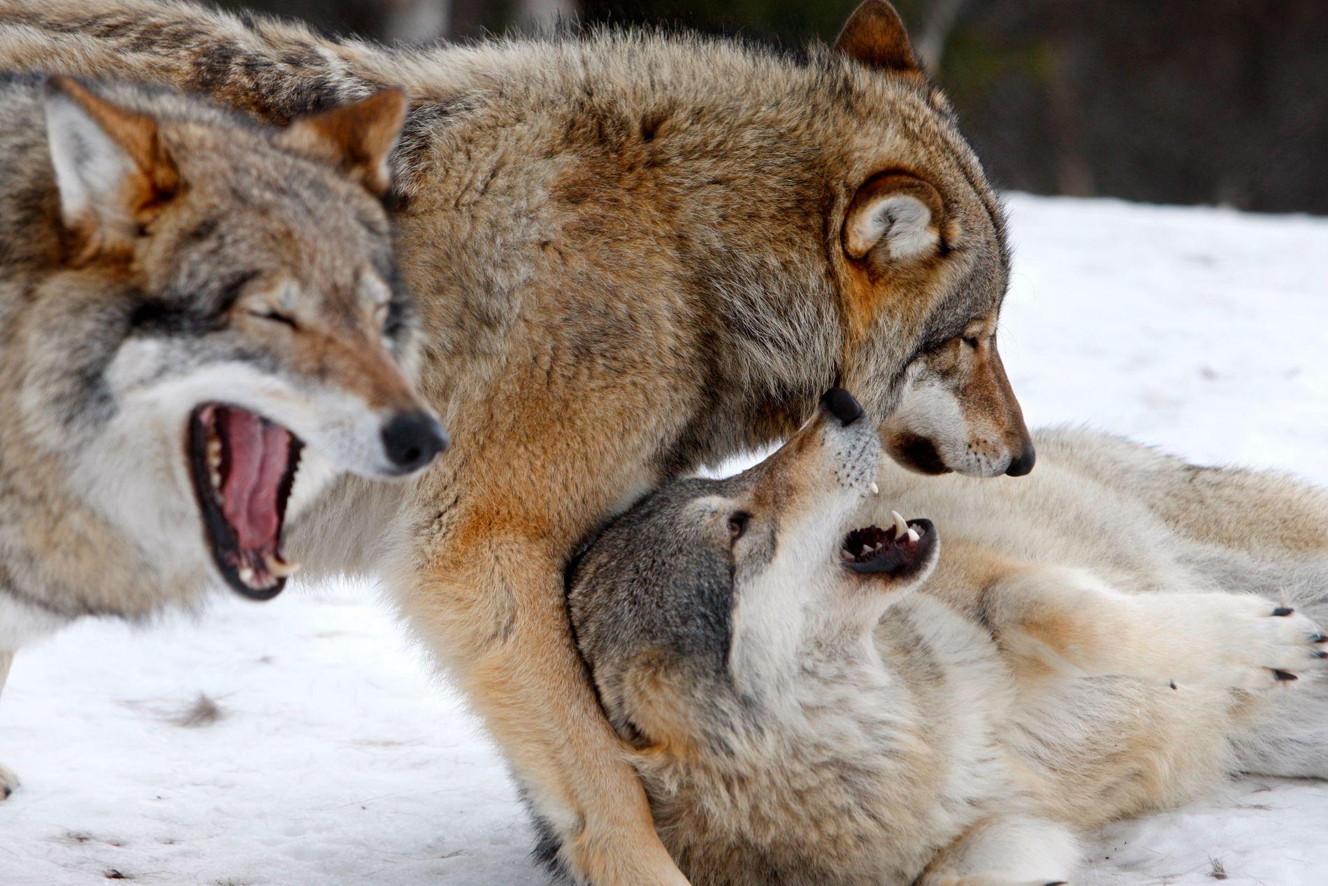 Disse ulvene holder til i Ulveparken Langedrag. Sonen for ulver som lever utenfor parken blir mindre