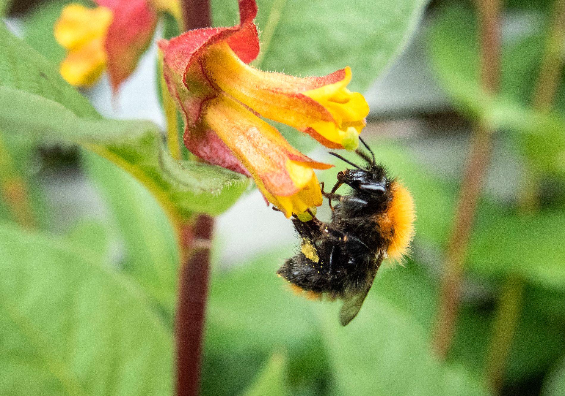 ØKOSYSTEM: En humle i ferd med å bestøve en blomst. Svært mange planter er avhengige av insekter for å formere seg.