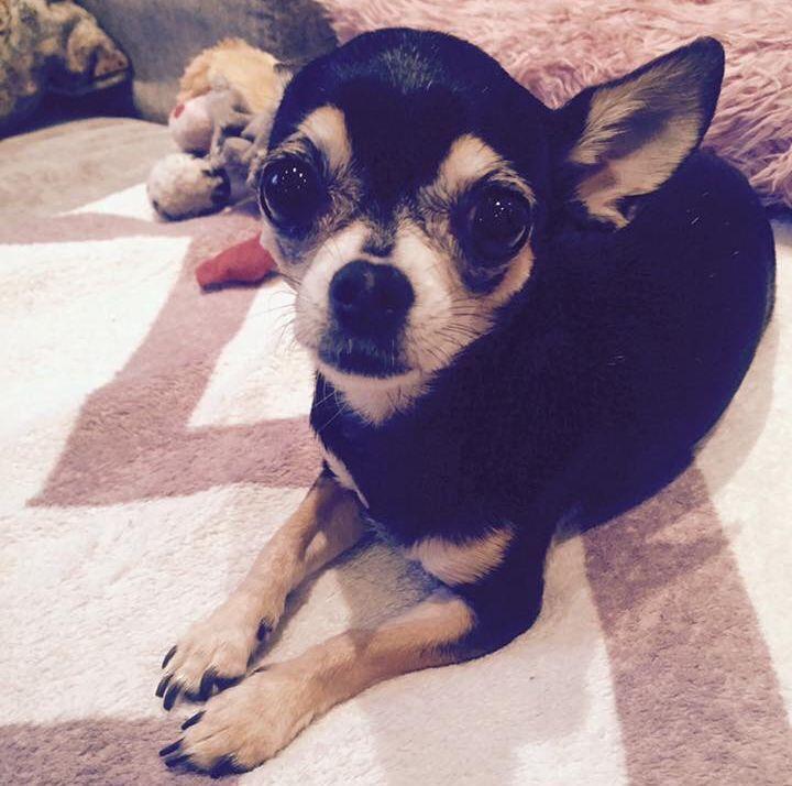 SPARKET: Chihuahuaen Leah ble sparket i hjel under en luftetur på St. Hanshaugen i Oslo, mens hundepasseren ble ranet.