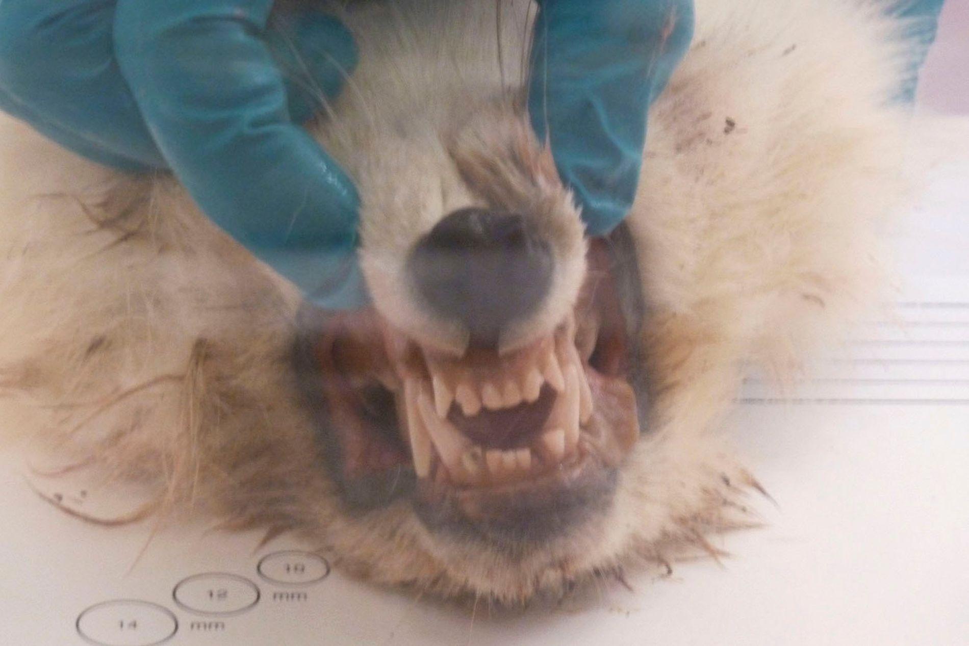 RABIES-SMITTET: Veterinærinstituttet påviste rabies i en fjellrev fra Hopen på Svalbard i 2018.
